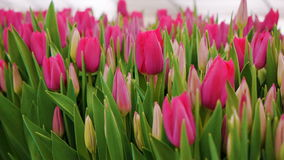 Pink Tulips Flowers . Growing Ornamental and Flowers for Landscape Design and Gifts stock video