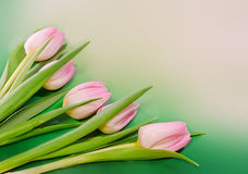 Pink tulips flowers and heart shape gift box, genus Tulipa, family Liliaceae on green light background, close up Royalty Free Stock Photo