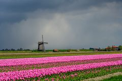 Pink tulips flowers landscape up in Holland , spring time flowers in Keukenhof. Beauty royalty free stock photo