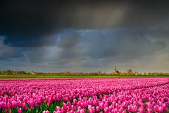 Pink tulips flowers landscape up in Holland , spring time flowers in Keukenhof. Beauty royalty free stock images