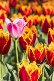 Pink tulips flowers Stock Photos