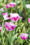 Pink tulips flowers stock photos