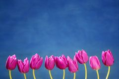 Pink tulips flowers in a row group line Stock Photo