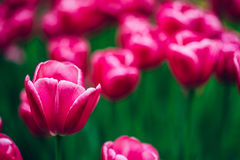 Pink Tulips Flowers In Spring Garden Flower Bed Royalty Free Stock Photo