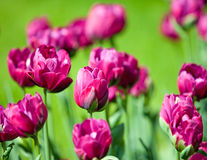 Pink tulips in the foreground Royalty Free Stock Image