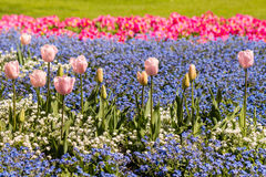 Pink tulips and forget-me-not flowers field Royalty Free Stock Image