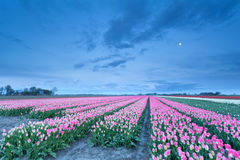 Pink tulips and full moon Royalty Free Stock Image