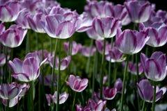 Pink Tulips in Garden Stock Photos