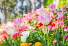 Pink tulips in the garden Stock Photos