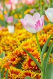 Pink tulips in the garden Royalty Free Stock Photo
