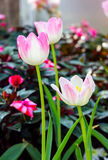 Pink tulips in the garden Royalty Free Stock Photos