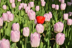 Pink tulips in the garden Stock Image