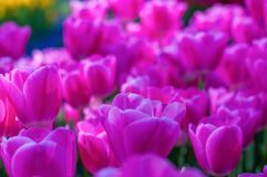 Pink tulips in garden on  bokeh background. Outdoor, spring Stock Photos