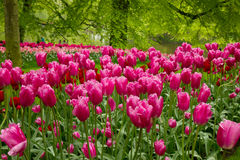 Pink  tulips in garden Royalty Free Stock Images