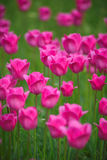 Pink tulips in the garden Stock Photos
