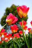 Pink tulips in the garden Photo was taken on: 2015.3.28 Royalty Free Stock Photography
