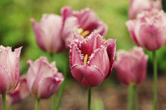 Pink tulips in the garden Stock Photo