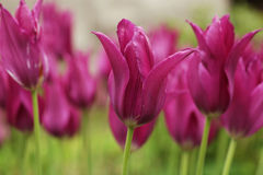 Pink tulips in the garden Stock Images