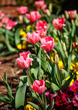 Pink Tulips in a Garden Stock Images
