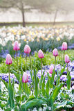 Pink Tulips, garden Stromovka in Prague Stock Image