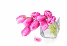 Pink tulips in glass vase. Pink tulips in glass vase on white background Royalty Free Stock Image