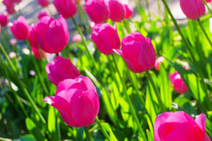 Pink tulips glowing in backlight in sunny morning Royalty Free Stock Images
