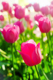 Pink tulips glowing in backlight in sunny morning Stock Images