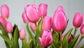 Pink tulips, mother's day. Pink tulips with gray background Stock Photo
