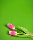 Pink Tulips green background Stock Photos
