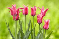 Pink tulips on a green background Royalty Free Stock Photography