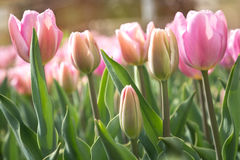 Pink tulips in green foliage Stock Photo