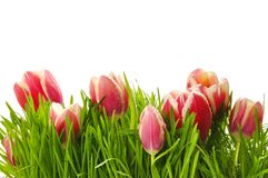 Pink tulips in a green grass Royalty Free Stock Images