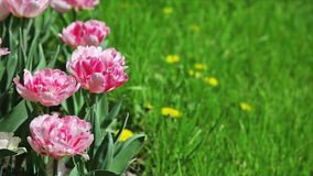 Pink tulips with green grass Stock Image