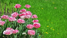 Pink tulips with green grass. Pink tulips on flower bed with green grass stock video footage