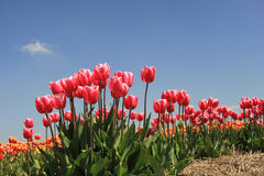 Pink tulips growing on a fiield Stock Photography