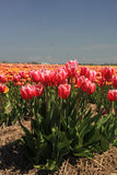 Pink tulips growing on a fiield Stock Photos