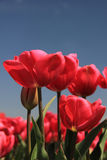 Pink tulips growing on a fiield Royalty Free Stock Image