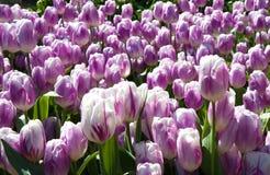 Pink tulips growing  in garden Stock Photos