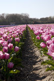 Pink Tulips in Holland Stock Images