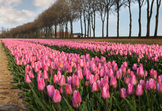 Pink tulips in Holland Royalty Free Stock Photography