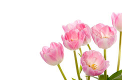 Pink Tulips In The Right Corner Royalty Free Stock Photos