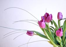 Pink tulips isolated Stock Photos