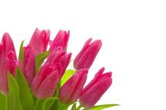 Pink tulips isolated. Stock Photo