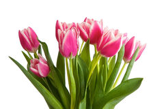 Pink tulips isolated Royalty Free Stock Images