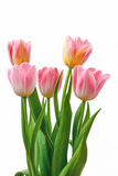 Pink tulips isolated on white background Royalty Free Stock Image
