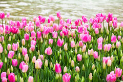 Pink tulips lakeside stock images