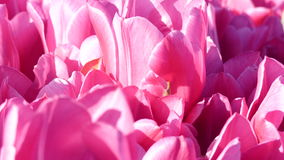Pink tulips macro background stock video