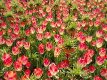 Pink Tulips with Crown Imperial in Garden stock image