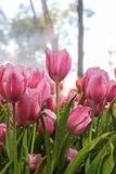 Pink tulips in morning mist (soft focus) Royalty Free Stock Image