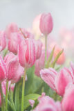 Pink tulips in morning mist (soft focus) Stock Photo